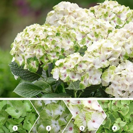 Hydrangea macrophylla Noblesse (Magical Four Seasons) (PBR)