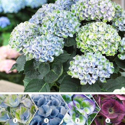 Hydrangea macrophylla Revolution Blue (Magical Four Seasons) (PBR)