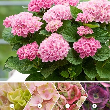 Hydrangea macrophylla Revolution Pink (Magical Four Seasons) (PBR)
