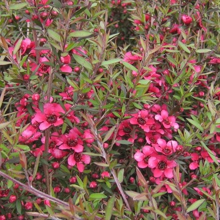 Leptospermum scoparium Red Ensign