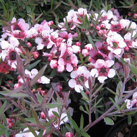 Leptospermum scoparium Martini
