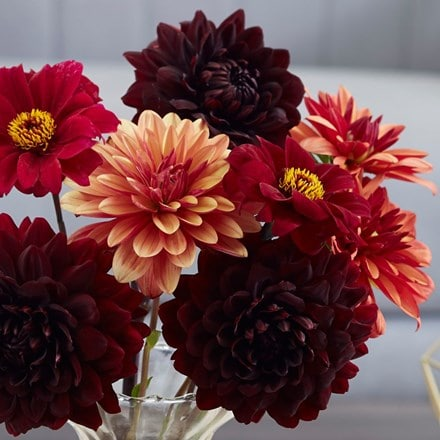 A touch of velvet dahlia collection