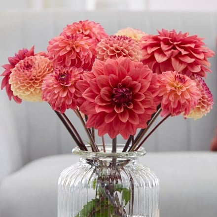 Apricot twist dahlia collection