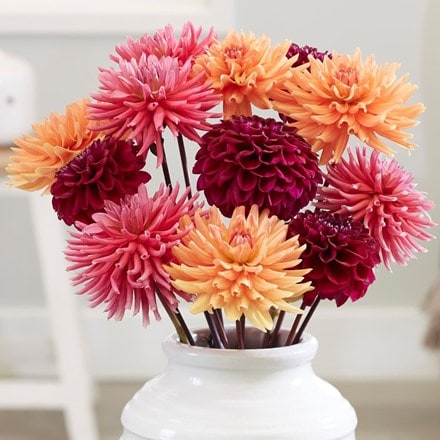 Strawberry marmalade dahlia collection