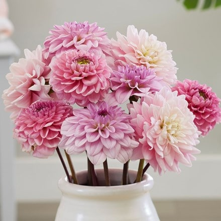Pink ice dahlia collection