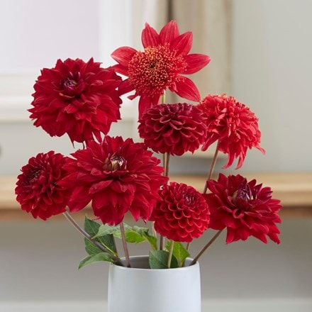 Best red dahlia collection