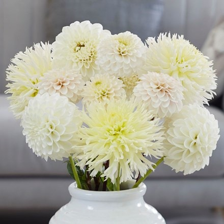 Best white dahlia collection
