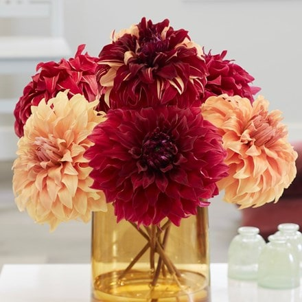 Giant dinnerplate dahlia collection
