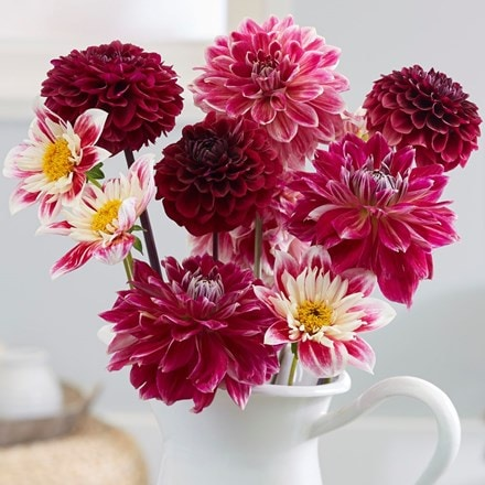 Fashion beauties dahlia collection