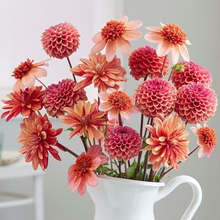 Tangerine dream dahlia collection