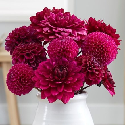 Purple dream dahlia collection