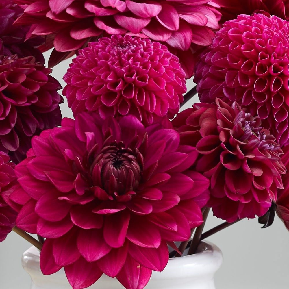 Purple dream dahlia collection - 6+3 Free tubers