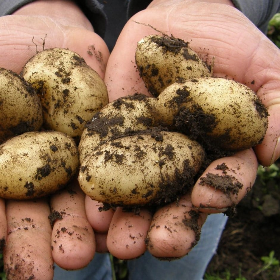 potato - second early, Scottish basic seed potato