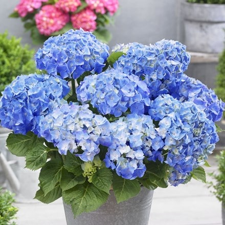 Hydrangea macrophylla Little Blue