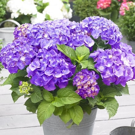 Hydrangea macrophylla Little Purple