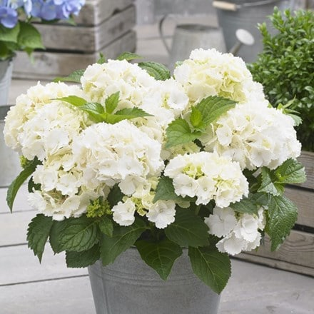 Hydrangea macrophylla Little White