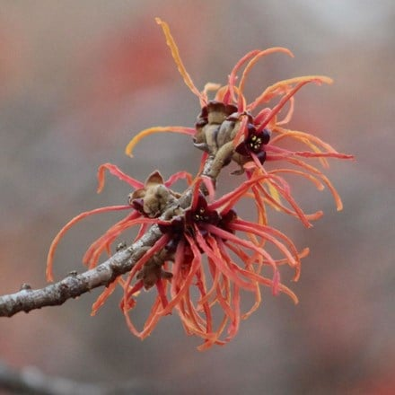 Hamamelis × intermedia Ruby Glow