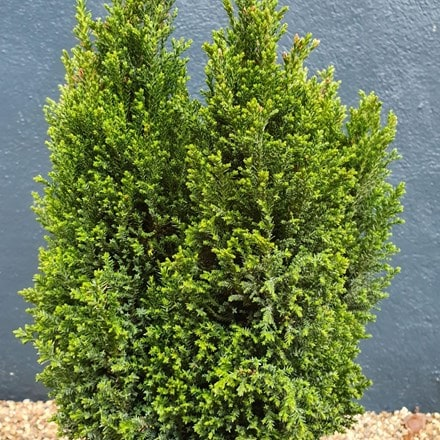Chamaecyparis lawsoniana Ellwood's Pillar ('Flolar')