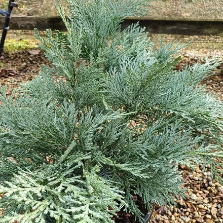 Chamaecyparis lawsoniana Pembury Blue