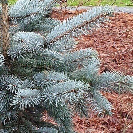 Picea pungens (Glauca Group) Hoopsii