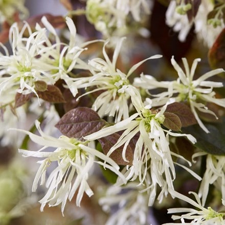 Loropetalum chinense Ruby Snow ('Iwai') (PBR)