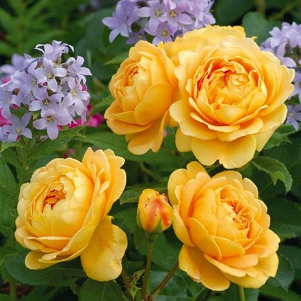 Rosa Golden Celebration ('Ausgold') (PBR)
