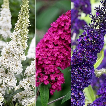 Buddleja collection