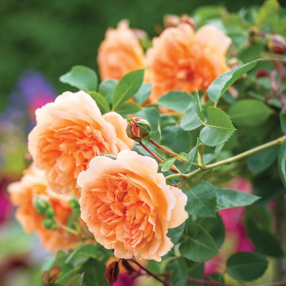 Buy rose Dame Judi Dench (shrub) Rosa ...