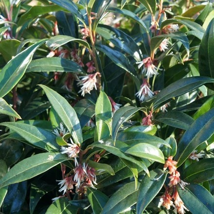 Sarcococca hookeriana Winter Gem ('Pmoore03') (PBR)