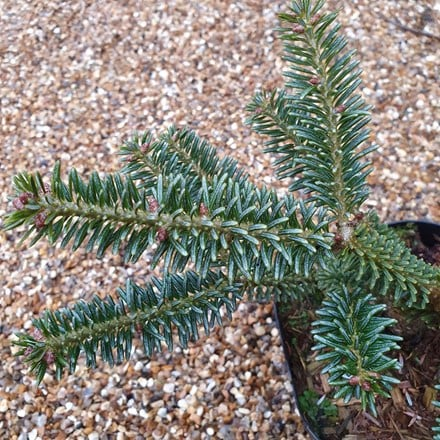 Abies koreana Blue Emperor
