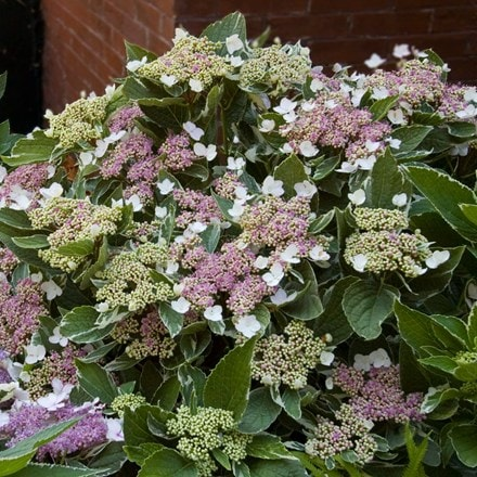 Hydrangea macrophylla Light-o-day ('Bailday') (PBR)