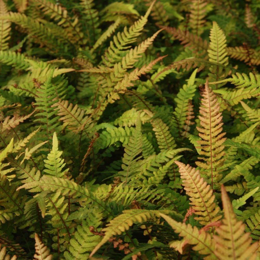 "Doodia Aspera /""rough Ruby/"" hardy fern 2 L"