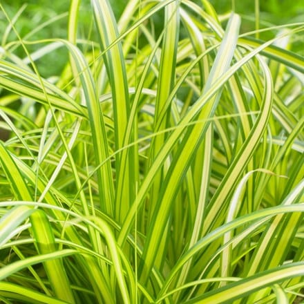 Carex oshimensis Eversheen (PBR) (Evercolor Series)