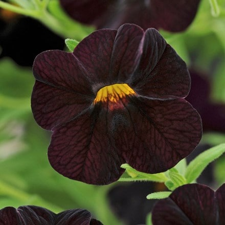 Calibrachoa Can-can Black Cherry (Can-can Series)