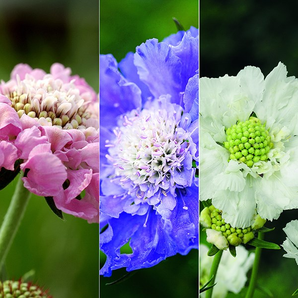 Scabiosa caucasica collection