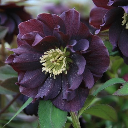 Helleborus × hybridus Harvington double purple