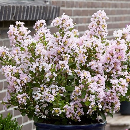 Lagerstroemia indica With Love Babe (Milaperl)(PBR)