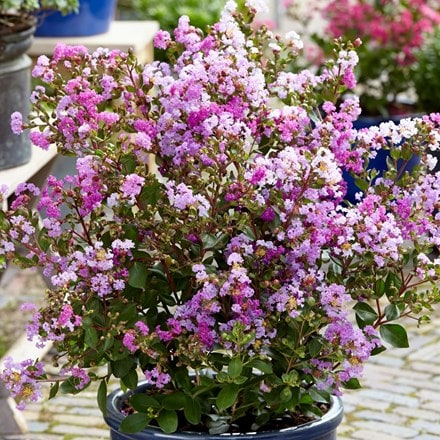Lagerstroemia indica With Love Eternal ('Milavio') (PBR)