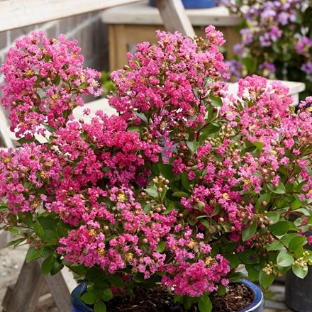 Lagerstroemia indica With Love Kiss ('Milarosso')(PBR)