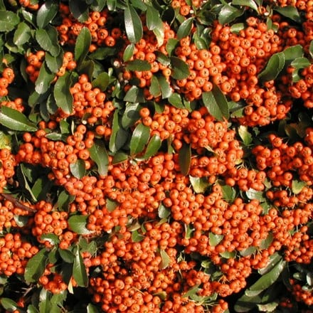 Pyracantha Saphyr Orange ('Cadange')
