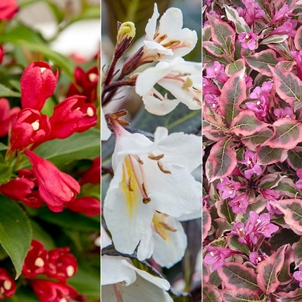 Weigela collection