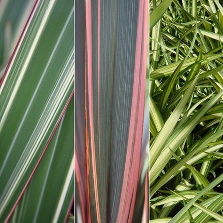 Phormium collection