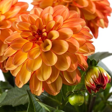 Dahlia Medio Fun Orange Bicolour (Labella® Series)