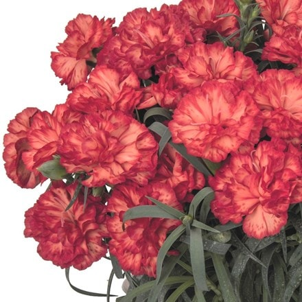 Dianthus Menorca Fancy Orange