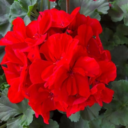 Geranium Savannah Really Red (Savannah Series)