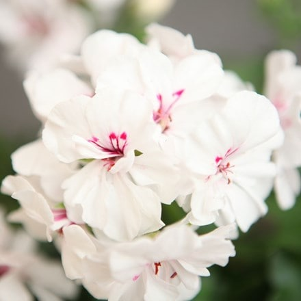 Geranium Savannah White Splash ('Duesawispla') (PBR) (Savannah Series)