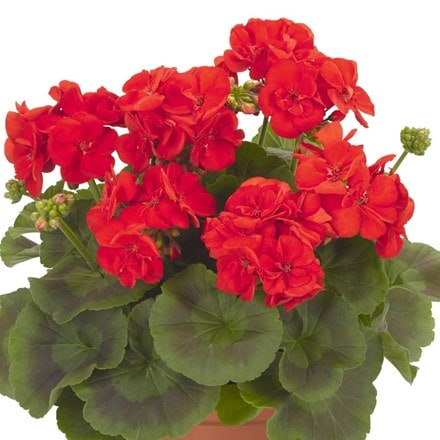 Geranium Survivor Idols Bright Red 2020 (Survivor Idols Series)