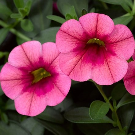 Calibrachoa Callie Strawberry (Callie Series)
