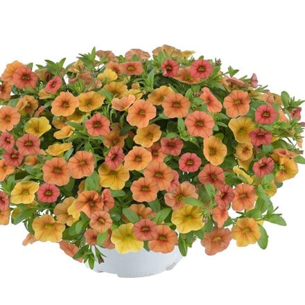 Calibrachoa Callie Terracotta (Callie Series)