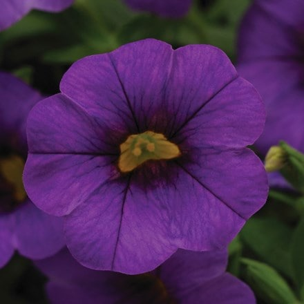 Calibrachoa Cabaret Purple ('Balcabpurp') (Cabaret Series)